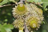 quercus-cerris-frutti